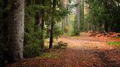 Dark pine forest scene — Stock Photo
