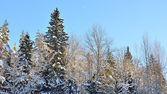 Winter wonderland w śniegu objętych lasu. łotwa — Zdjęcie stockowe