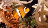 Clownfish in marine aquarium — Stock Photo