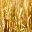 Agriculture view. Wheat field close-up — Stock Photo #38705531