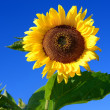 Sunflower close-up against dark blue sky — Stock Photo #42687997