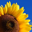 Sunflower close-up against dark blue sky — Stock Photo #42688477