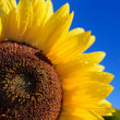 Sunflower close-up against dark blue sky — Stock Photo #42688633