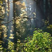 Beautiful fog and sunbeams in the forest — Stock Photo