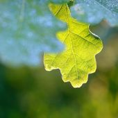 Oak green young leaves — Stock Photo