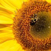 Sunflower close-up with bee sitting on it — Stockfoto