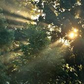 Sunbeams in fog in the forest — Stock Photo