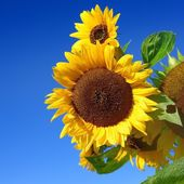 Sunflowers close-up against dark blue sky — Stock Photo