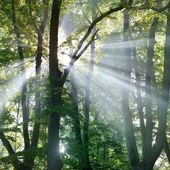Fog and sunbeams in the forest — Stock Photo