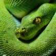 Green tree python Morelia viridis — Stock Photo #50523099