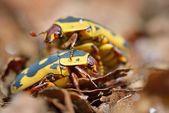 Flower scarabs (Cetoniinae) in terrarium — Stock Photo