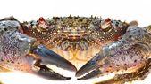 Warty crab Eriphia verrucosa — Stock Photo