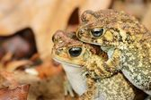 African common toad Amietophrynus gutturalis — Stock Photo