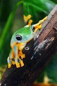 Green flying frog Frog Rhacophorus — Foto de Stock