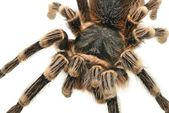 Giant tarantula Acanthoscurria geniculata — Stock Photo