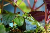 Green Dotted Treefrog Dendropsophus labialis — Stock Photo