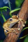 Borneo eared frog Polypedates otilophus — Stock Photo