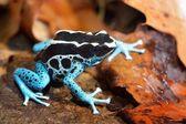 Blue dart frog Dendrobates tinctorius — Stock Photo