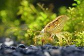 Southeast Asia shrimp in aquarium — Stock Photo