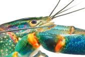 Blue crayfish — Stock Photo