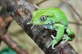 Waxy monkey leaf frog Phyllomedusa sauvagii — Stock Photo