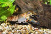 Colorful Australian blue crayfish — Stockfoto