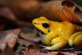 Golden Poison Frog Phyllobates terribilis — Stok fotoğraf