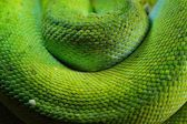 Green tree python Morelia viridis — Stock Photo
