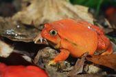 The false tomato frog Dyscophus — Foto de Stock