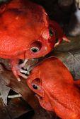 The false tomato frogs Dyscophus antongilii — Stock Photo