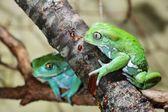 Waxy monkey leaf frogs Phyllomedusa sauvagii — Stock Photo