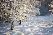árvores na neve — Foto Stock