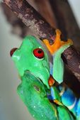 Red-eye tree frog Agalychnis callidryas mating — Stock Photo