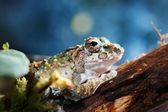Young Chinese flying frog Rhacophorus dennysii — Stock Photo