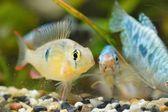 Ropical Cichlid in aquarium — Stock Photo