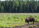 St. Petersburg. Russia. Bisons in Toksovo. — Stok fotoğraf