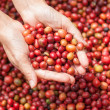 Stock Photo: Red berries coffee beans on agriculturist hand