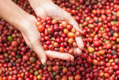 Red berries coffee beans on agriculturist hand — Stock Photo