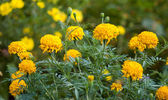 Fiore di calendule — Foto Stock