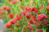 Rubiaceae bloem — Stockfoto