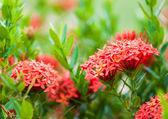 Rubiaceae flower — Stock Photo