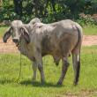 Thai cow,Northeast, Thailand. — Stock Photo