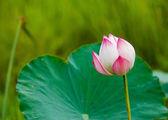 Lotusblomma och lotus blomma växter — Stockfoto