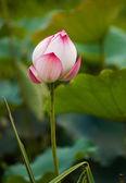 Lotus çiçeği ve lotus çiçek bitki — Stok fotoğraf