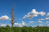 Die tree on cassava field — Stock Photo