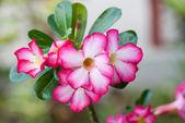 Desert Rose — Stock Photo
