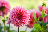 Garden Dahlia flower — Stock Photo