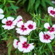 Stock Photo: ChinPink , Dianthus chinensis L.