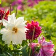 Stock Photo: Garden Dahliflower