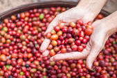 Red berries coffee — Stock Photo